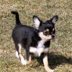 Chihuahua hvalpe til salg