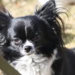 1414 Chihuahua