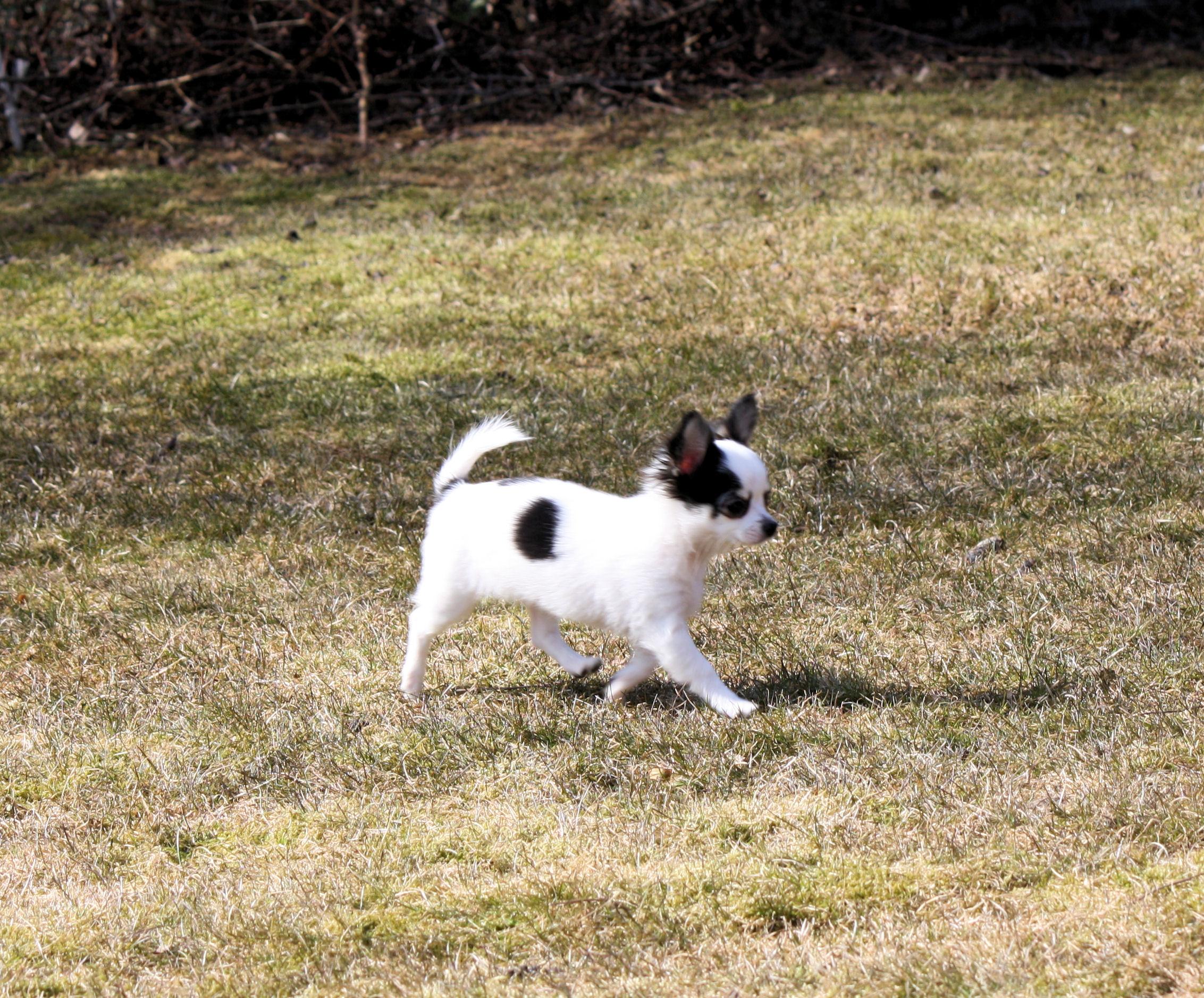 Chihuahua hvalpe