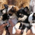 Chihuahua hvalpe Q-kuld
