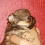 1414's Tammy, Chihuahua hvalp