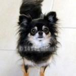 T-kuld 1414 Chihuahua