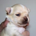S-kuld, Chihuahua hvalpe