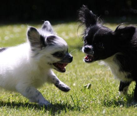 Chihuahua, arrig
