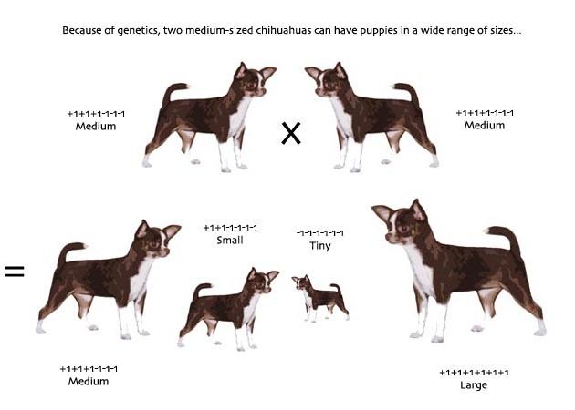 Chihuahua genetics