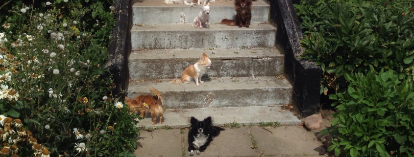 Sol og Chihuahua