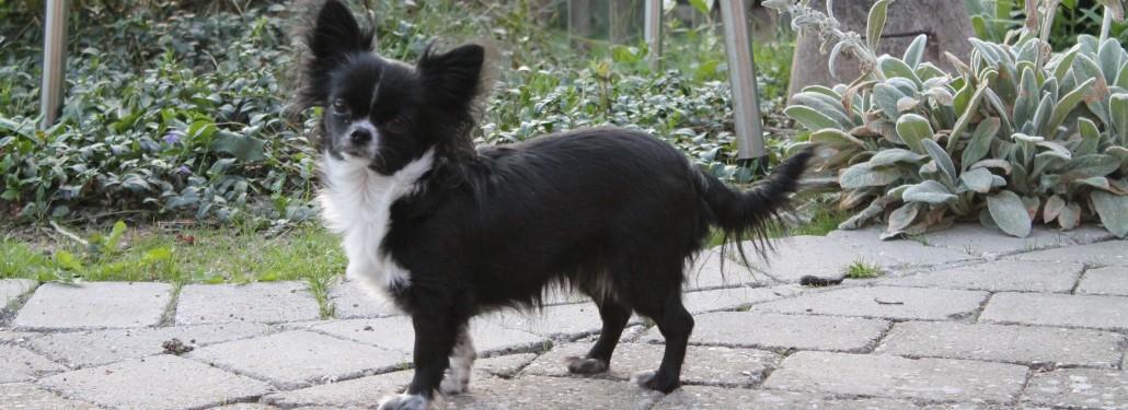 Lise's Jennifer, 1414 Chihuahua